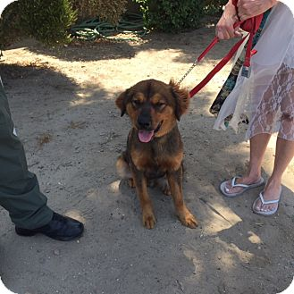 Shepherd (Unknown Type) Mix Puppy for adoption in Corona, California - Toby, eight month old love bug