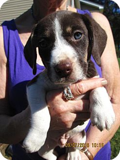 Beagle/Harrier Mix Puppy for adoption in Lincolndale, New York - CLINT