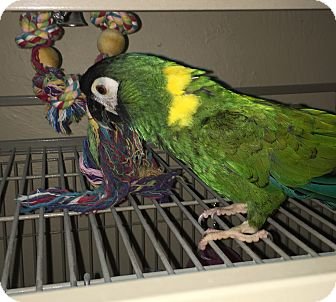 Macaw for adoption in Punta Gorda, Florida - Channy