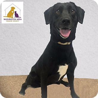 Labrador Retriever Mix Dog for adoption in Eighty Four, Pennsylvania - Lily