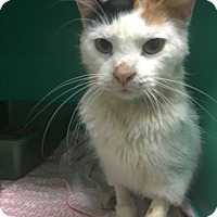 Domestic Shorthair Cat for adoption in Saylorsburg, Pennsylvania - Skinny Minnie
