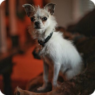 Toy Fox Terrier/Chihuahua Mix Dog for adoption in Oak Park, Illinois - Wink