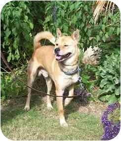 Jindo/Akita Mix Dog for adoption in Southern California, California - Sugar