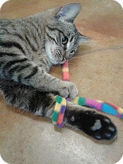 Domestic Shorthair Cat for adoption in Lake Charles, Louisiana - Rene
