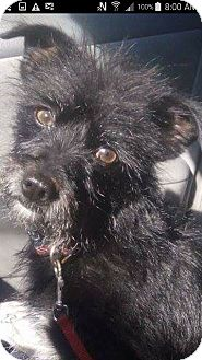 Cairn Terrier/Terrier (Unknown Type, Small) Mix Dog for adoption in San Diego, California - Valentina