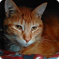 Adopt A Pet :: Foxy - Cloquet, MN