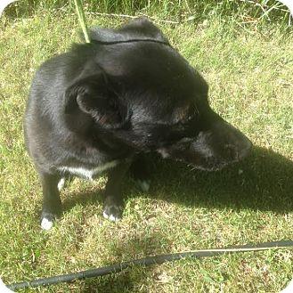 Shepherd (Unknown Type)/Labrador Retriever Mix Dog for adoption in Cardwell, Montana - Roemer