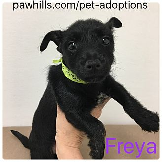 Scottie, Scottish Terrier/Mixed Breed (Small) Mix Puppy for adoption in Agoura Hills, California - Freya