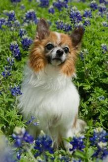 Papillon Mix Dog for adoption in Nationwide, Maryland - Paddy (in Texas)