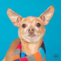Adopt A Pet :: Dextur - Northbrook, IL