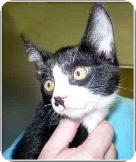 Domestic Shorthair Kitten for adoption in San Clemente, California - GROUCHO