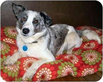 Australian Shepherd/Australian Cattle Dog Mix Dog for adoption in Latrobe, Pennsylvania - Flora