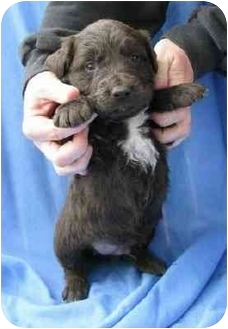 Shepherd (Unknown Type) Mix Puppy for adoption in Sealy, Texas - Dino