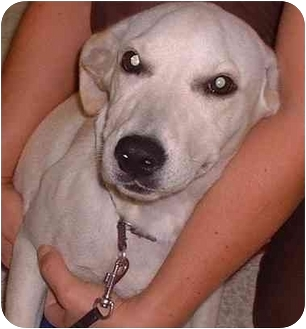 Labrador Retriever Mix Puppy for adoption in Evergreen, Colorado - Snookums