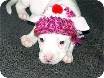 American Staffordshire Terrier/Labrador Retriever Mix Puppy for adoption in Valley Village, California - Bunny