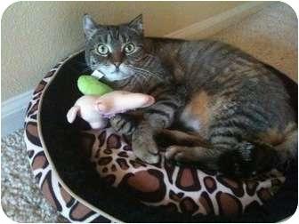 American Shorthair Cat for adoption in El Cajon, California - DORA