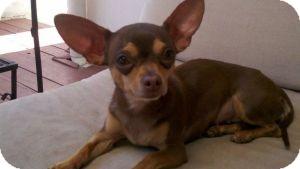Chihuahua Mix Dog for adoption in Encino, California - Sugar- 5 lbs