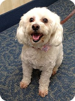 Poodle (Miniature) Dog for adoption in Los Angeles, California - Taffy