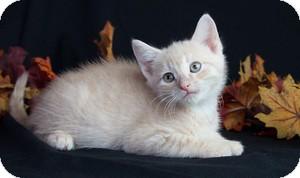 Domestic Shorthair Kitten for adoption in Wayne, New Jersey - Quarter Pounder