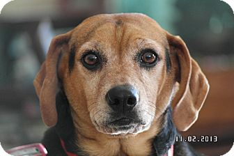 Beagle/Terrier (Unknown Type, Medium) Mix Dog for adoption in Indianapolis, Indiana - Brady
