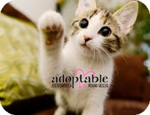 Domestic Shorthair Kitten for adoption in Okotoks, Alberta - Sable