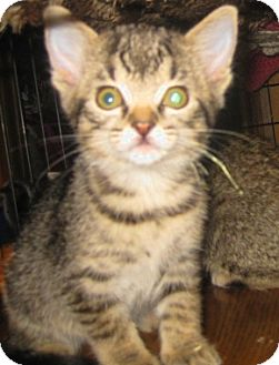 Bengal Kitten for adoption in Dallas, Texas - Champaign