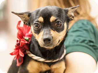 Chihuahua Mix Dog for adoption in Dallas, Texas - Queen