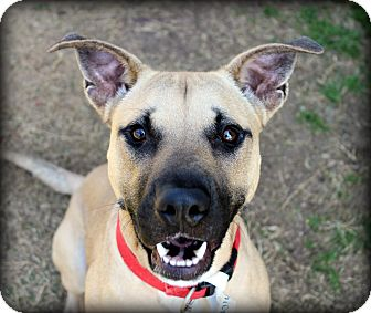 Black Mouth Cur/Terrier (Unknown Type, Medium) Mix Dog for adoption in Fort Worth, Texas - Uno