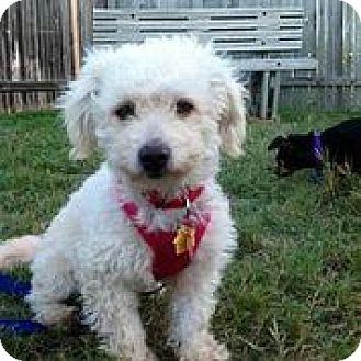 Terrier (Unknown Type, Small)/Poodle (Toy or Tea Cup) Mix Dog for adoption in Austin, Texas - Lottie Moon