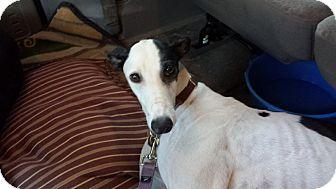 Greyhound Dog for adoption in Cottonwood, Arizona - Going Home