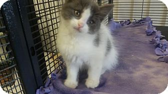Domestic Mediumhair Kitten for adoption in China, Michigan - Pebbles - PENDING