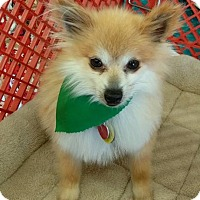 Adopt A Pet :: Eliza - North Olmsted, OH