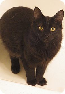 Domestic Longhair Cat for adoption in Quail Valley, California - Isaboo