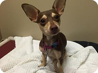 Chihuahua Mix Puppy for adoption in Plymouth Meeting, Pennsylvania - Princess
