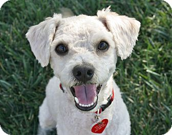 Poodle (Miniature)/Bichon Frise Mix Dog for adoption in Los Angeles, California - Radley - I do not shed!