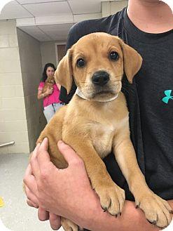 Labrador Retriever/Hound (Unknown Type) Mix Puppy for adoption in Cumming, Georgia - Muffin-Lexi's Pup