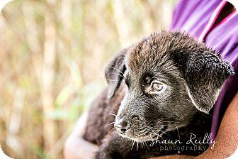 Labrador Retriever/Shepherd (Unknown Type) Mix Puppy for adoption in Hammonton, New Jersey - Pepsi