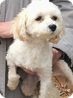 Shih Tzu/Poodle (Miniature) Mix Dog for adoption in Homer Glen, Illinois - Champ