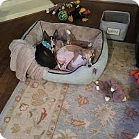 Adopt A Pet :: Chris Brooks in Houston area - Argyle, TX