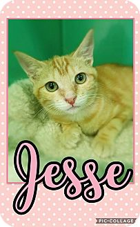 Domestic Shorthair Kitten for adoption in Edwards AFB, California - Jesse