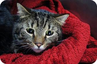 Domestic Shorthair Cat for adoption in New Milford, Connecticut - Kelso