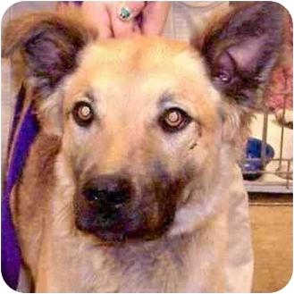 Shepherd (Unknown Type) Mix Dog for adoption in Tucson, Arizona - Major