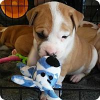 Adopt A Pet :: Bree - Houston, TX