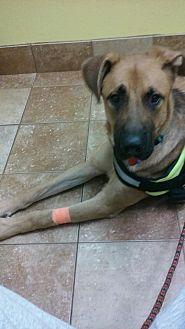 German Shepherd Dog Mix Dog for adoption in Roswell, Georgia - Duke (Guest)