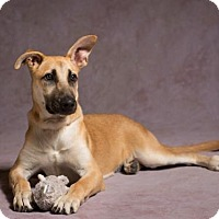 German Shepherd Dog/Labrador Retriever Mix Dog for adoption in League City, Texas - Nala