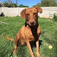 Vizsla/Labrador Retriever Mix Dog for adoption in Chandler, Arizona - CHARLIE 4