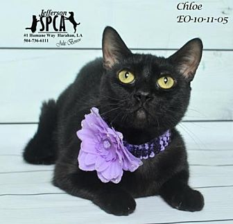 Domestic Shorthair Cat for adoption in Jefferson, Louisiana - Chloe @ Pets R Our World