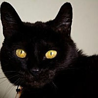 Domestic Shorthair Cat for adoption in Hot Springs, Arkansas - PK