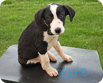 Boxer/Great Pyrenees Mix Puppy for adoption in Sussex, New Jersey - Elsie