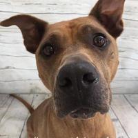 Adopt A Pet :: Annie - Land O'Lakes, FL